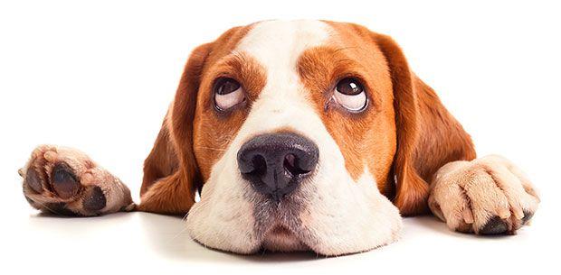hond ligt op tafel met kop en kijkt onschuldig